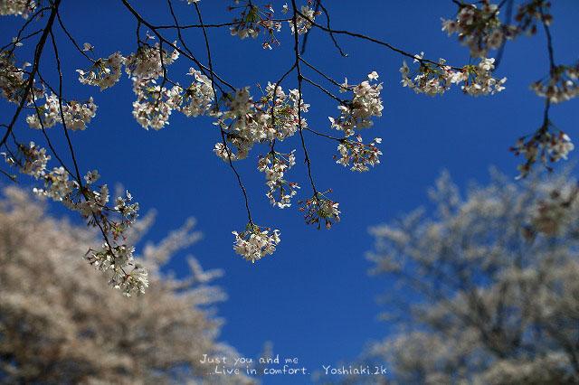 飛鳥山の桜