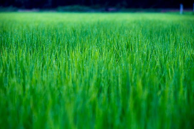 これも あけぼの山の横の田んぼです