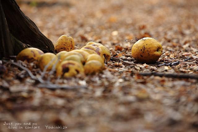 小石川植物園の花梨