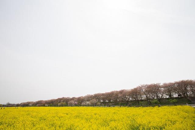 権現堂の春