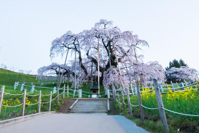 三春の滝桜です