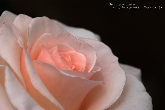 今回 好きな色の薔薇が無かった、、、