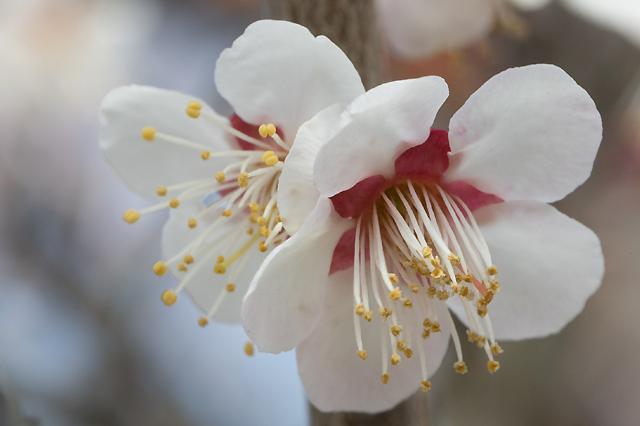 杏子の花です