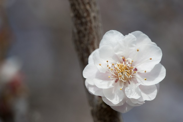 桜や梅も良いけど 杏子も良いでしょ これは梅ちゃん  桃ちゃんも可愛いよね