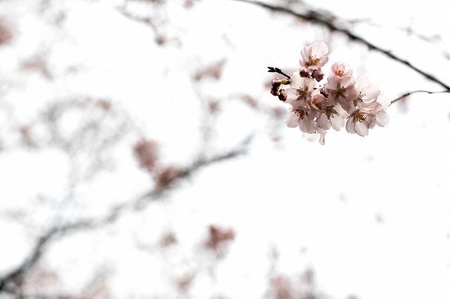 なんちゃら桜