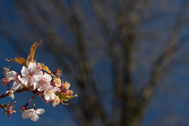 寒桜が終わりの頃