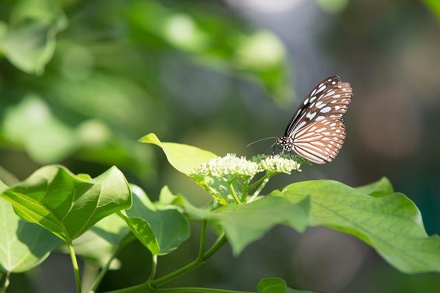 なんちゃらって蝶