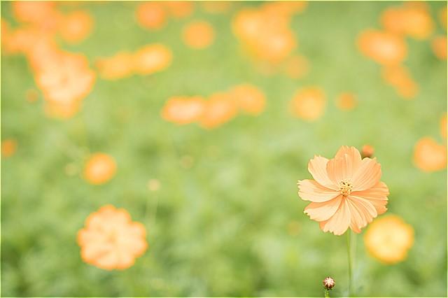 キバナコスモス沢山咲いてました