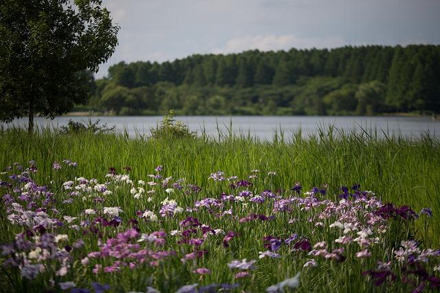 5月の水元公園です