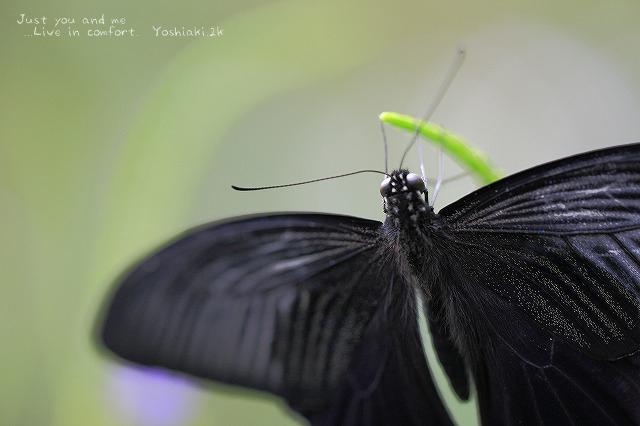 なんて 蝶?