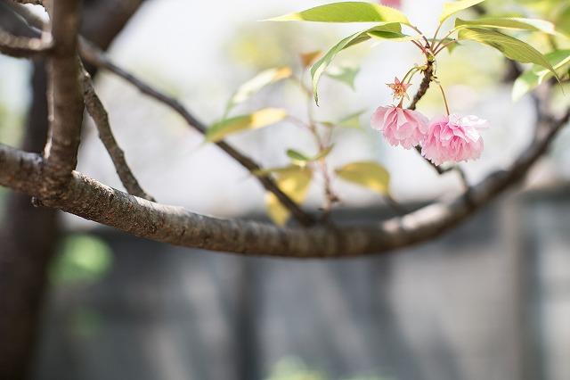 八重桜もちょっと残ってました