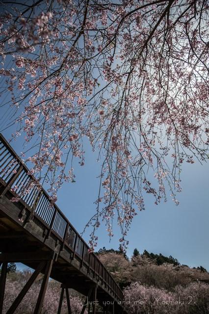 枝垂桜も良いもんだ